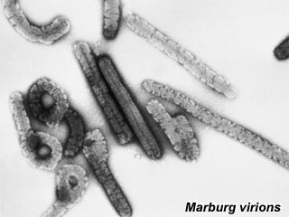 Antibody solutions found to neutralize Marburg virus