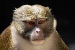 monkey-ebola
