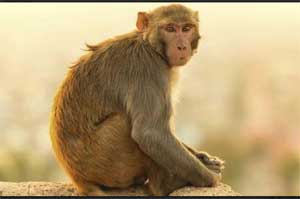 AIIMS Doctors write to PM about monkey menace on campus